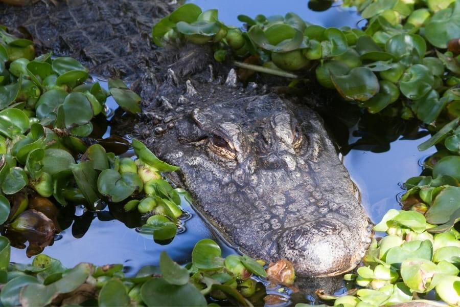 Alligator im Wasser von Florida