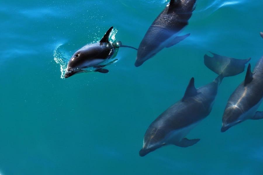 Delfine im Wasser von Florida