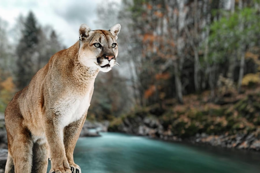 Panther im National Wildlife Refuge in Florida