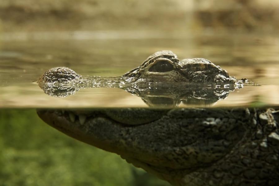Krokodile im Wasser von Florida