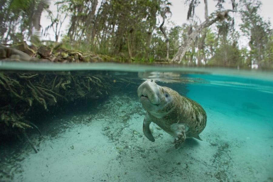 Manatee im Wasser von Florida