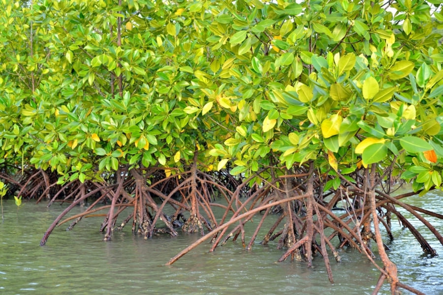 Mangroven im Wasser von Florida