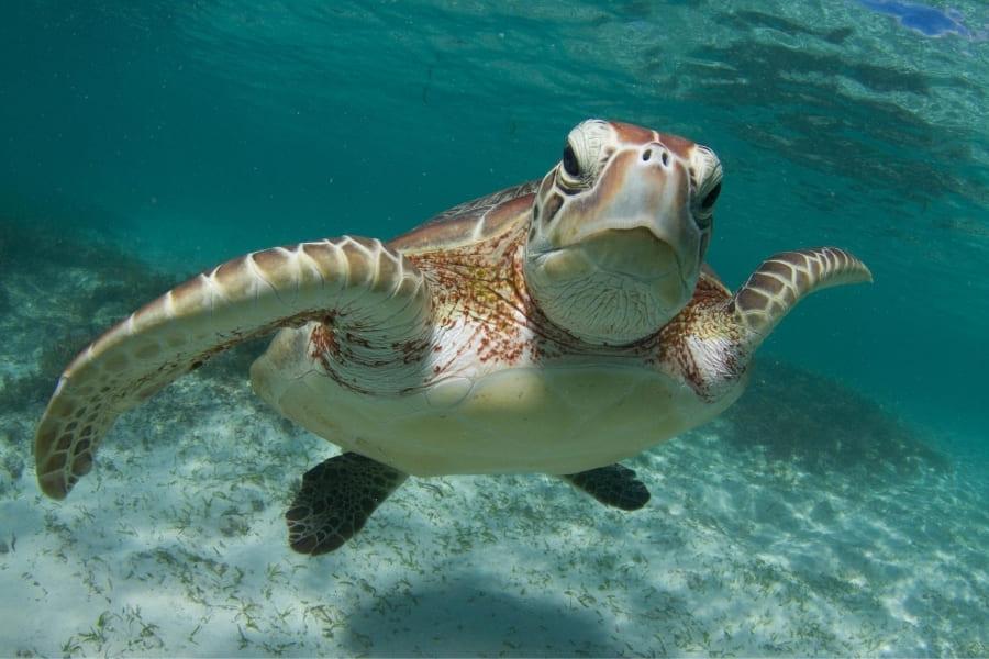 Meeresschildkröte im Wasser von Florida