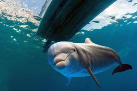 Tiere und Pflanzen von Florida mit Delphine unter einem Boot